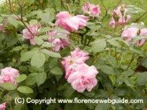 Rose garden below Piazzale Michelangelo
