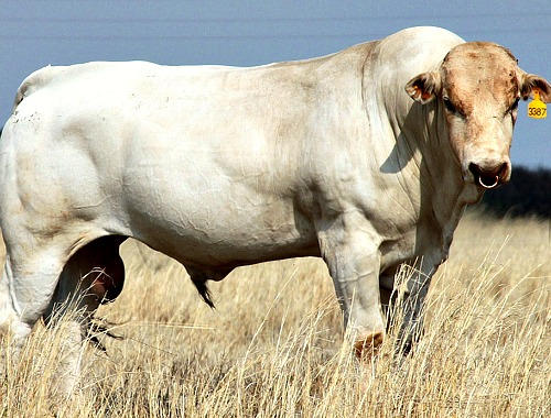 Type of cow called 'Chianina' which is used for the Florence steak