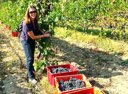 Woman on wine tour gets in on the Brunello harvest action!