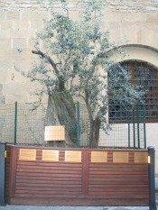 Olive tree on spot where explosion went off near the Uffizi Gallery