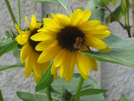 Bee on a sunflower in Florence in Spring